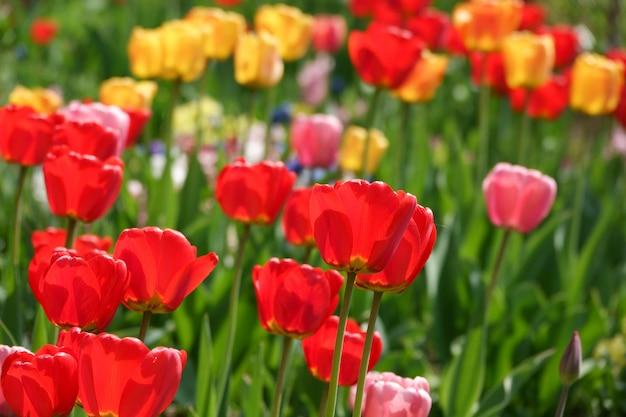 Schöne gelbe und rote tulpen im ländlichen park. gartenblumen. viele grüne vegetation.
