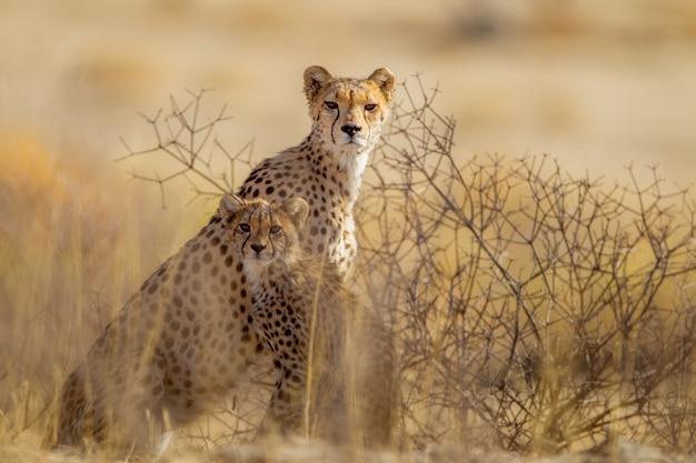 Schöne geparden unter den pflanzen mitten in der wüste