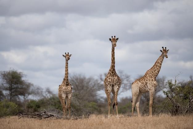 Schöne giraffen, die im buschfeld gehen