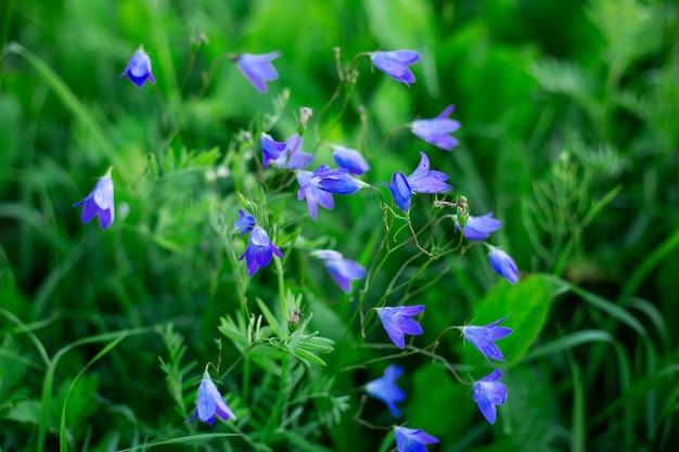 Schöne glockenblumen auf dem gebiet weichzeichnung