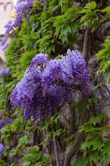 Schöne glyzinien in voller blüte