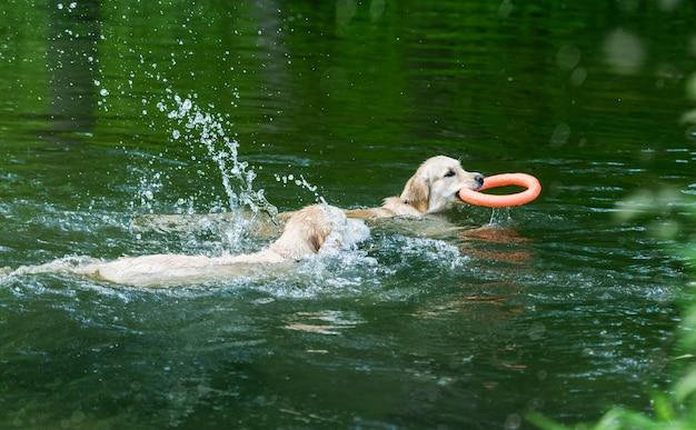 Schöne goldene retriever, die im funkelnden fluss schwimmen