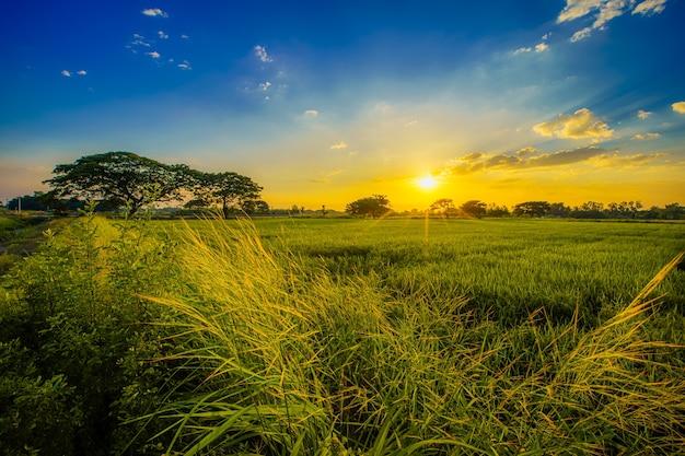 Schöne grasbüschel wilde blume ein warmes licht und grünes feld maisfeld oder mais und grüner baum in asien land landwirtschaft ernte mit sonnenuntergang himmelshintergrund.