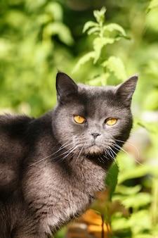 Schöne graue britisch kurzhaar-katze, die im gras im sommergarten sitzt