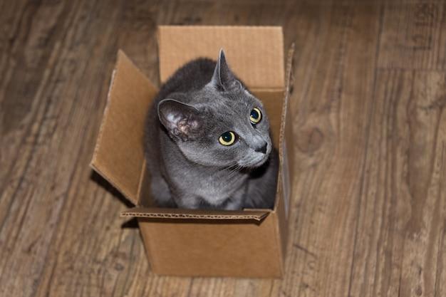Schöne graue katze, die in der pappschachtel sich versteckt.