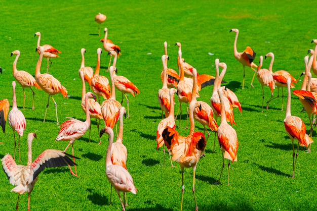 Schöne große flamingogruppe, die auf dem gras im park geht