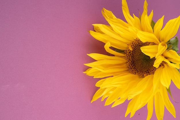 Schöne große, gelbe sonnenblumenblume auf einem hellpurpurnen hintergrund, nahaufnahme.