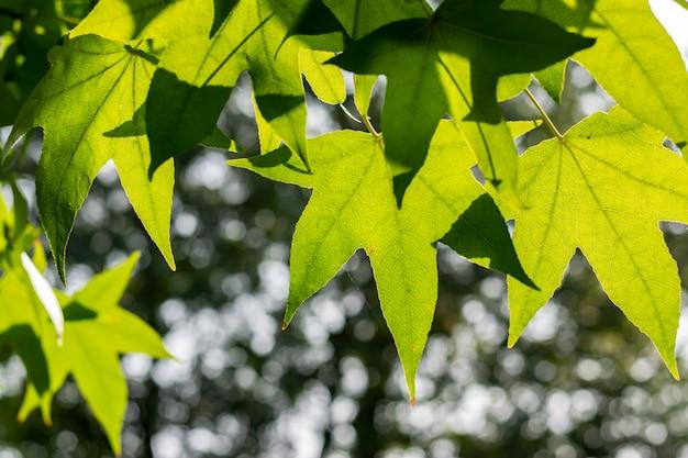 Schöne grüne ahornblätter auf einem unscharfen waldhintergrund