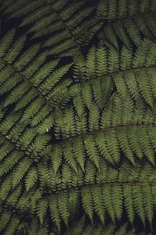 Schöne grüne farnblätter in der natur. makrofotografie des regenwaldhintergrundes.