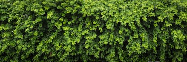 Schöne grüne hecke für natürlichen hintergrund