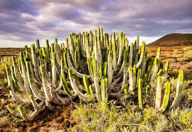 Schöne grüne kaktuspflanze in den kanarischen inseln, spanien