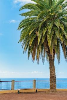 Schöne grüne palme auf einer klippe gegen den blauen sonnigen himmelhintergrund. puerto de la cruz, teneriffa, spanien