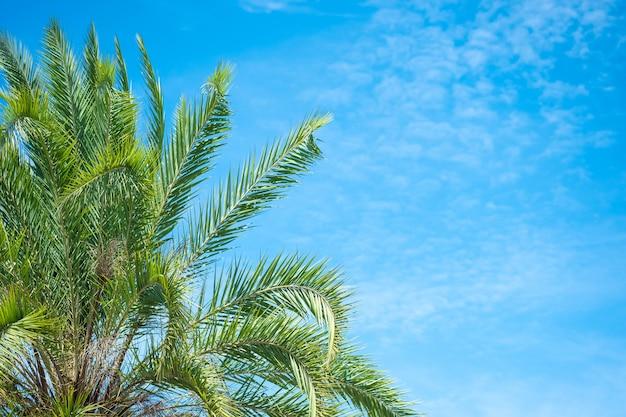 Schöne grüne palme und blauer himmel mit natürlichem hintergrund.