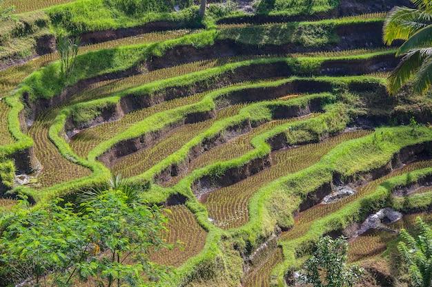 Schöne grüne reisterrassen in der nähe des dorfes tegalalang auf der insel bali, indonesien