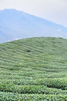 Schöne grüntee-erntegartenreihen-szene mit blauem himmel und wolke, designkonzept für das frische teeprodukt, kopierraum.