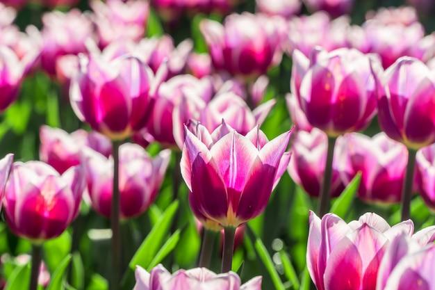 Schöne gruppe purpurrote und weiße tulpen