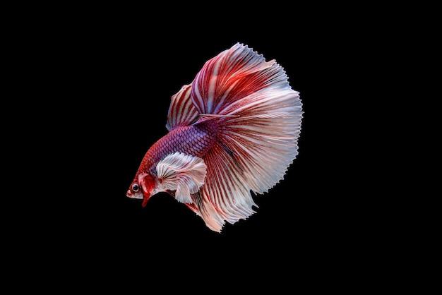 Schöne halbmondweiße und rote betta splendens, siamesische kampffische oder pla-kad in thailändischen beliebten fischen im aquarium.