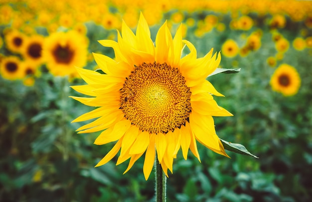Schöne helle gelbe blume auf einem gebiet von sonnenblumen.