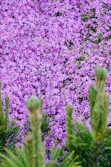 Schöne helle lila phlox subulata hautnah. botanischer frühlingshintergrund mit platz für text.