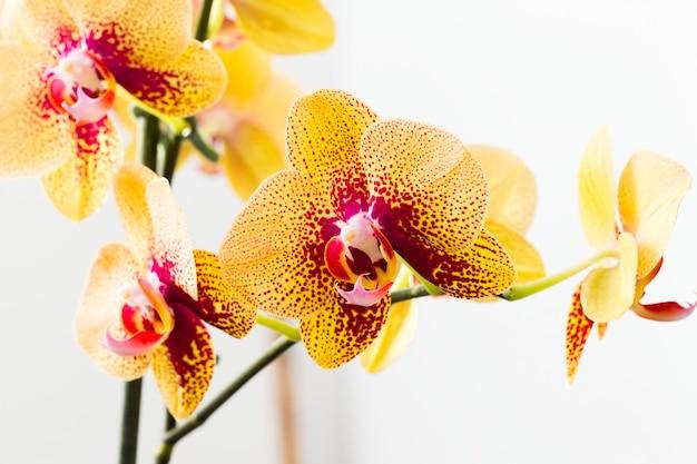 Schöne helle orchideenblume - herrliche zimmerpflanzeblüte auf stamm.