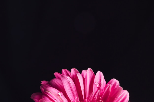 Schöne helle rosa blütenblumenblätter im tau