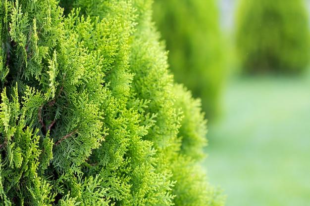 Schöne hellfrische grüne dekorative büsche beleuchteten durch sonne auf unscharfem grünem hintergrund am sonnigen frühlings- oder sommertag. gartenkunst und landwirtschaftskonzept.