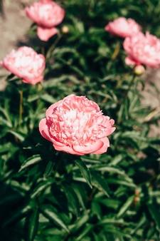 Schöne hellrosa pfingstrosenblumen schließen oben im garten