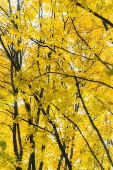 Schöne herbstlandschaft mit gelben bäumen. buntes laub im park