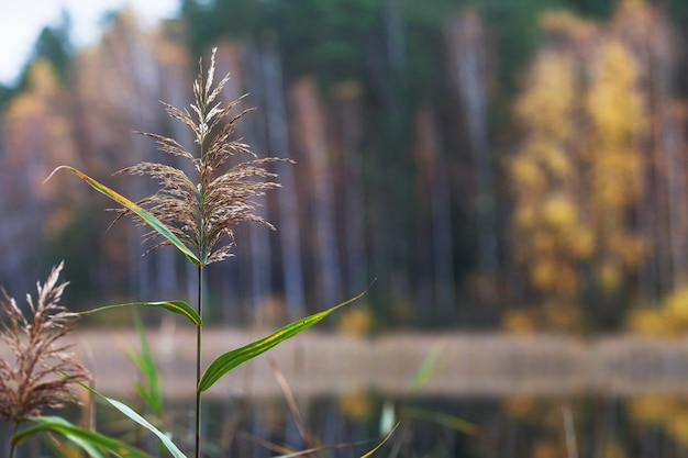 Schöne herbstlandschaft mit verschwommenen gelben bäumen. schilfzweig am see vor. buntes laub im park. fallender blätter natürlicher hintergrund. speicherplatz kopieren