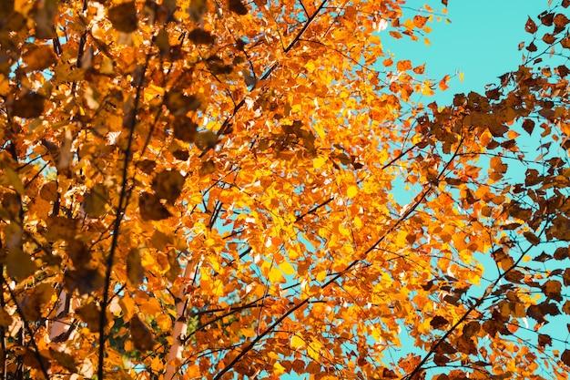 Schöne herbstorangenblätter mit blauem himmelshintergrund