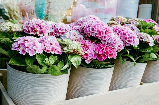 Schöne hortensien in töpfen