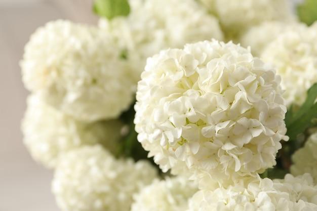 Schöne hortensienblumen, nahaufnahme. frühlingspflanze