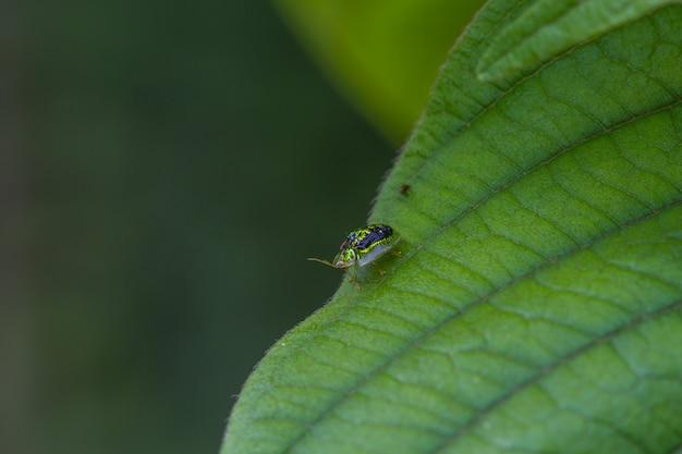 Schöne insekten-goldene schildkröten-käfer schließen oben im wald