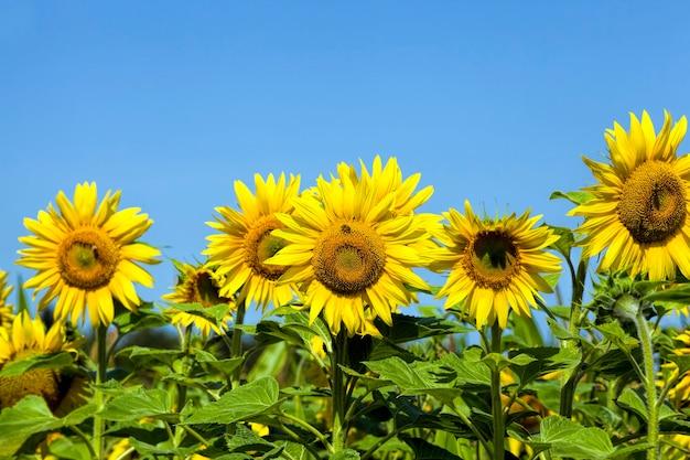 Schöne jährliche sonnenblume auf dem feld