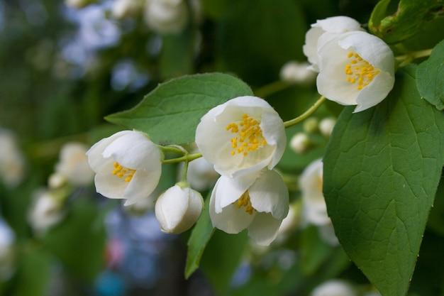 Schöne jasminblüten mit grünen blättern als oberfläche. blühende jasminblüten im sommer