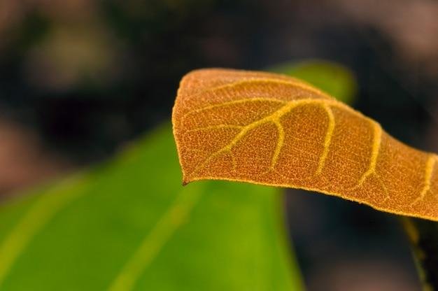 Schöne junge blätter der teakpflanze, unscharfer grüner blätterhintergrund