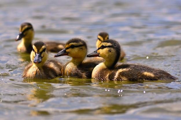 Schöne junge ente auf der oberfläche von einem teich. wild lebende tiere an einem sonnigen sommertag. junger wasservogel.