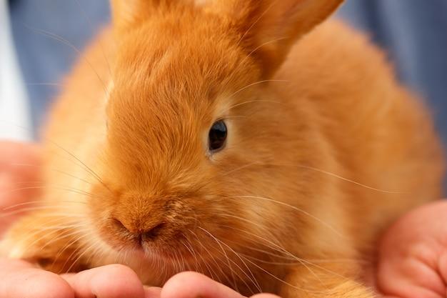 Schöne junge rothaarige-kaninchennahaufnahme auf händen.