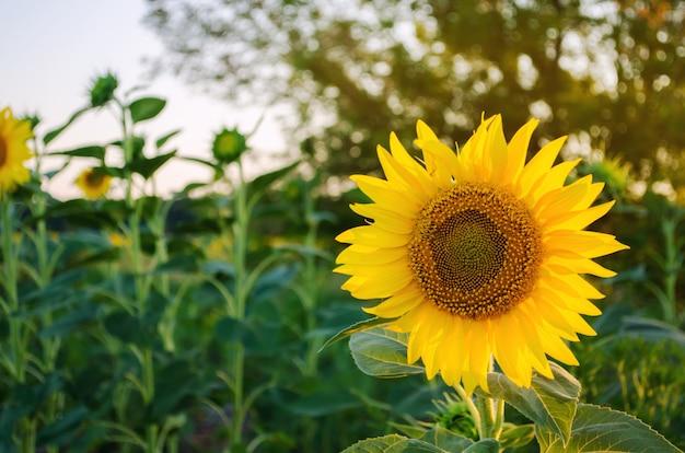 Schöne junge sonnenblume