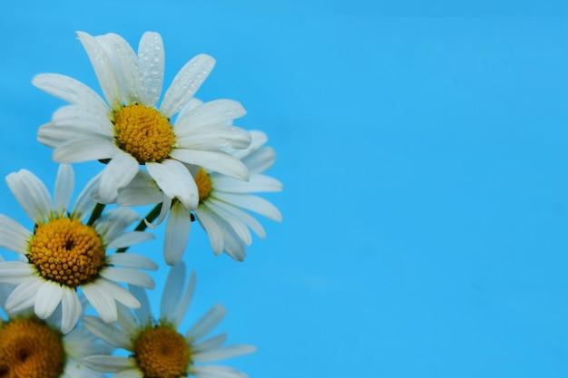 Schöne kamillenblüten auf hellblauem hintergrund