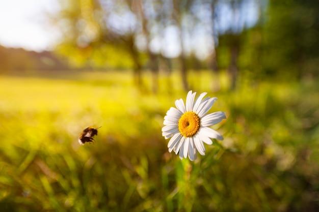 Schöne kamillenblume in der wiese der sommerlichen naturszene mit blühendem gänseblümchen in den sonneneruptionen