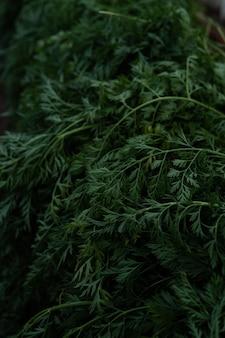 Schöne karottenblätter. karottenspitzen in sattem grün