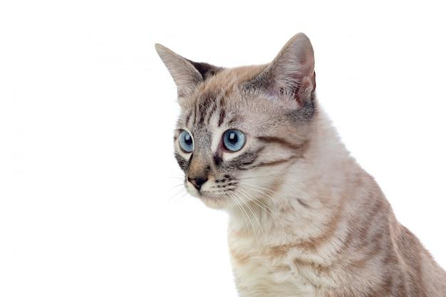 Schöne katze mit blauen augen