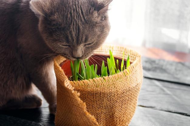 Schöne katze mit katzengras. natürliche vitamine pflege für haustiere.
