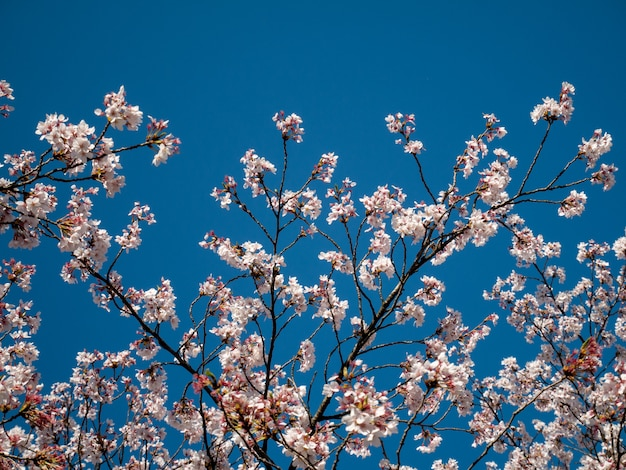 Schöne kirschblüte auf dem blauen himmel im frühjahr