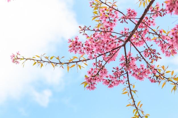 Schöne kirschblüte auf hintergrund des blauen himmels
