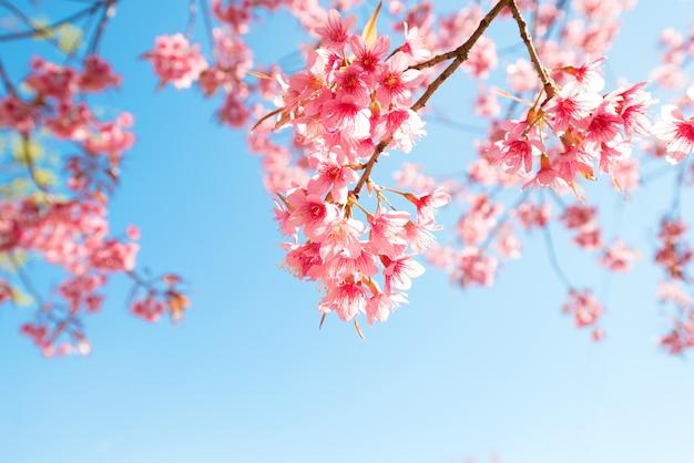 Schöne kirschblüte-blume (kirschblüte) im frühjahr. kirschblüte-baumblume auf blauem himmel.