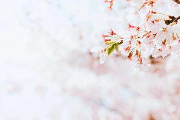 Schöne kirschblüte in voller blüte im frühjahr