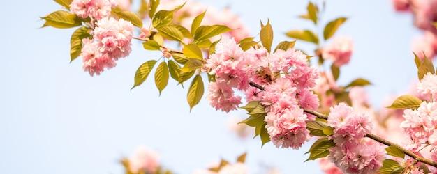 Schöne kirschblüte kirschblüte