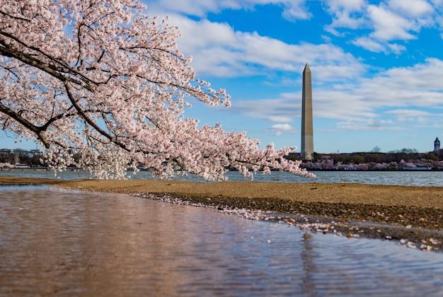 Schöne kirschblüte über dem see, der die national mall in washington dc umgibt